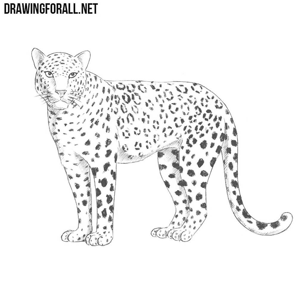 How To Draw A Leopard Leopard Drawing Snow Leopard Drawing