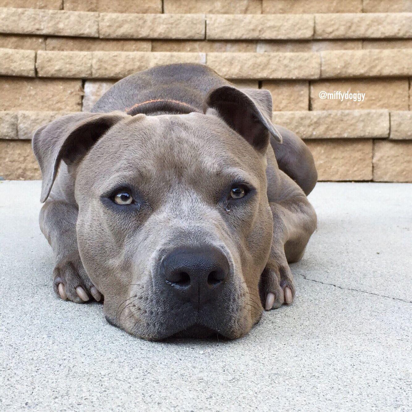 Pitbull Puppy Training Tips The Extra Stubborn Puppy Puppy