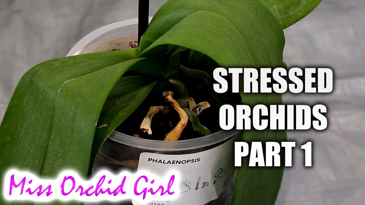 Rejuvenating Stressed Orchids Part 1 Limp Leathery Leaves Youtube Growing Orchids Orchid Care Orchid Leaves