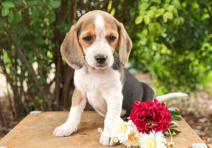 Pin By Tracy Whitlock On Dexter In 2020 Beagle Puppy