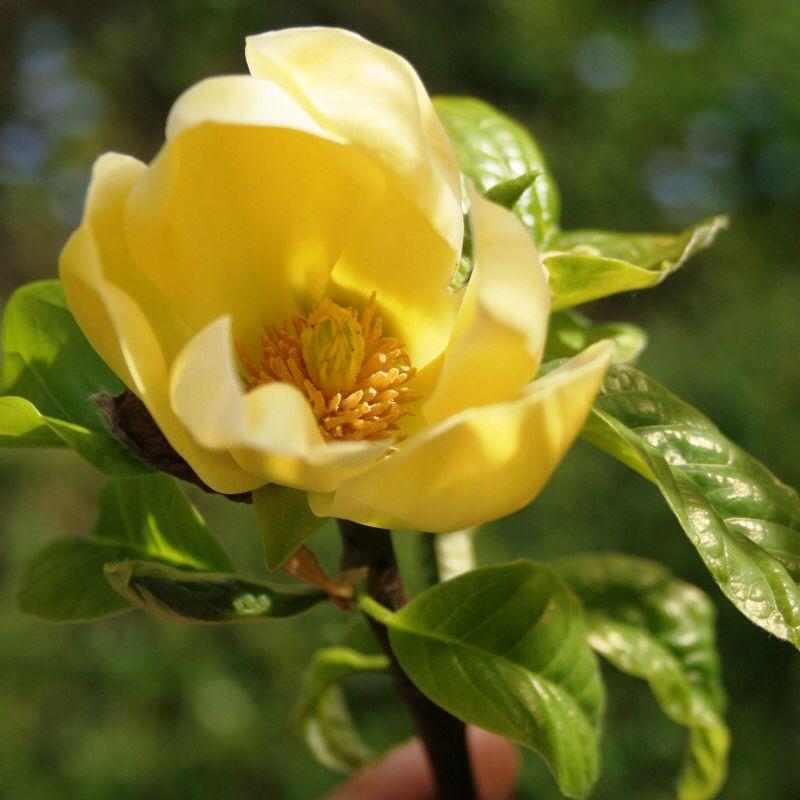 Magnolia 'Yellow River'   Yellow wallpaper, Magnolia ...