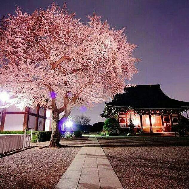 Japanese Dojo Cherry Blossom Blossom Trees Cherry Blossom Tree