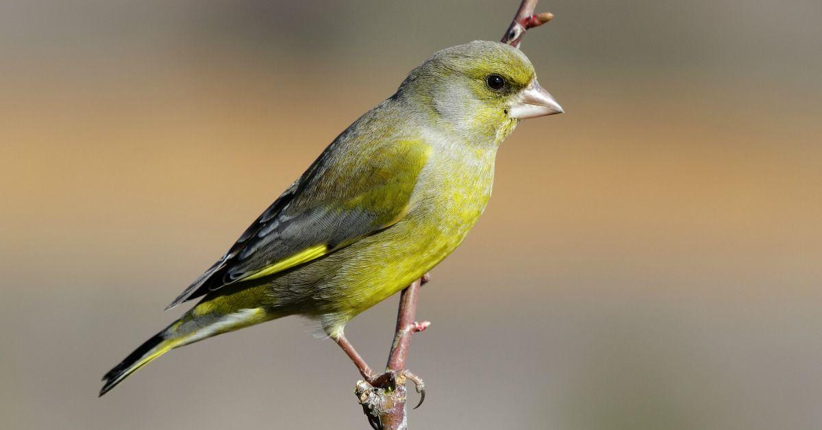 Verwonderend Vogels In De Tuin Herkennen: 27 Tuinvogels & Info (met XC-34