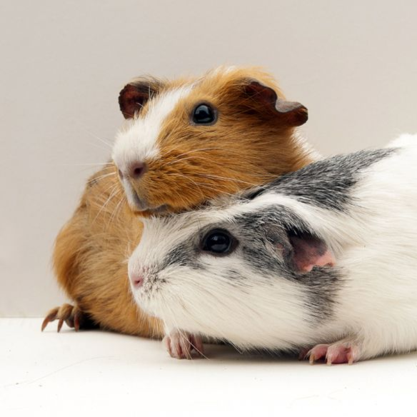 Guinea Pigs, photographed by www.gillyfish.com