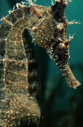 Male Seahorse Hippocampus Whitei During Birthing Close View Male Seahorse Seahorse Dragon Seahorse