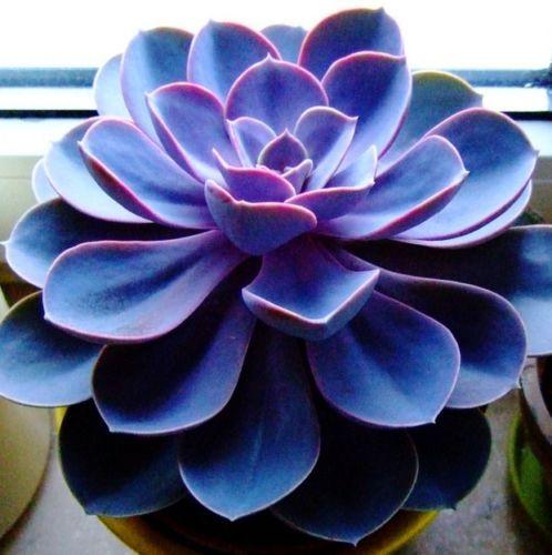 Echeveria-Exotic-Seeds-Sempervivum-Cyclops-Cactus-Blue-Black-Red-Succulent-Seed