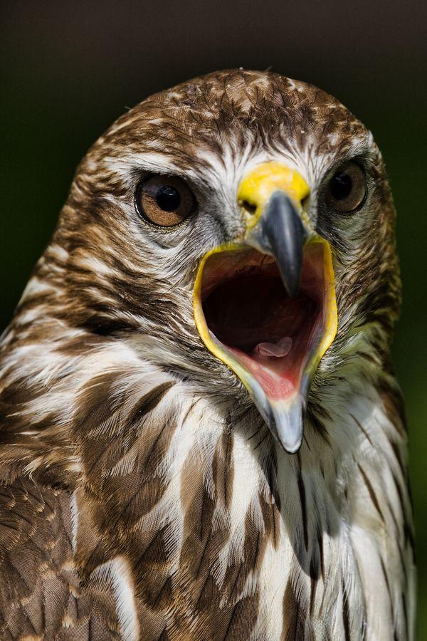 Falcon call most beautiful sound   Eagles - Hawks - Owls - Condors