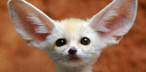 Fennec Foxes Mate For Life The Male Becomes Aggressive To Protect The Female Especially When She S Preg Cute Animals Cute Funny Animals Funny Animal Pictures