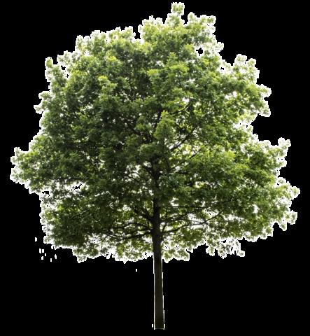 Oak Tree High Quality PNG Transparent Background