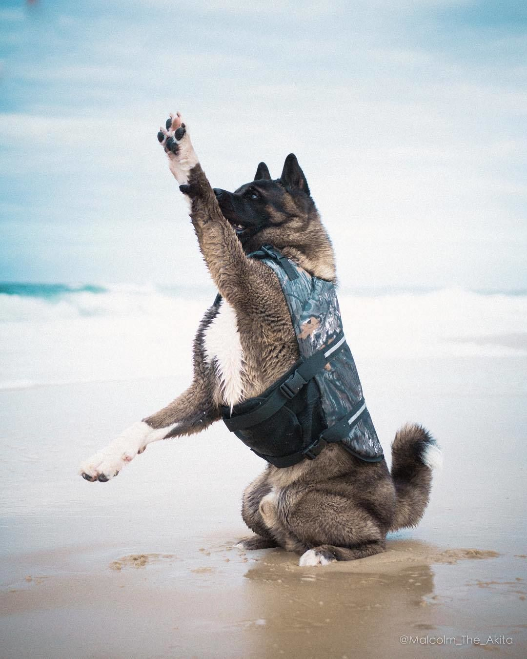Paws Up Friends It S Beachtime The Freedom And Happiness Of Pets Is Built On Safety Akita Dog Akita American Akita