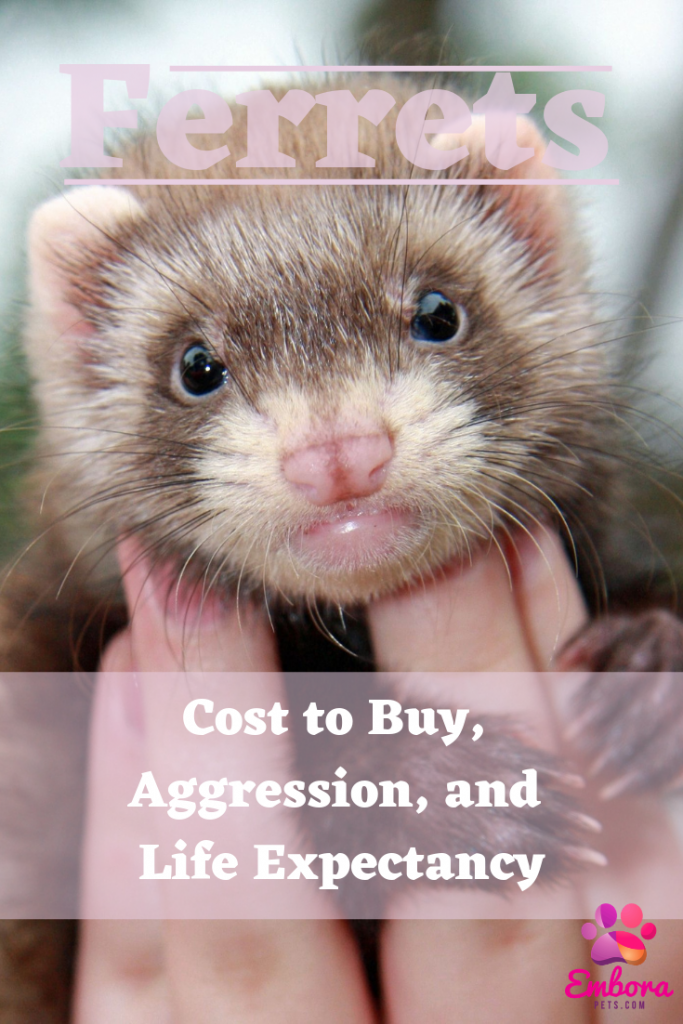 Ferrets as Pets Cost to Buy, Their Aggressiveness, and