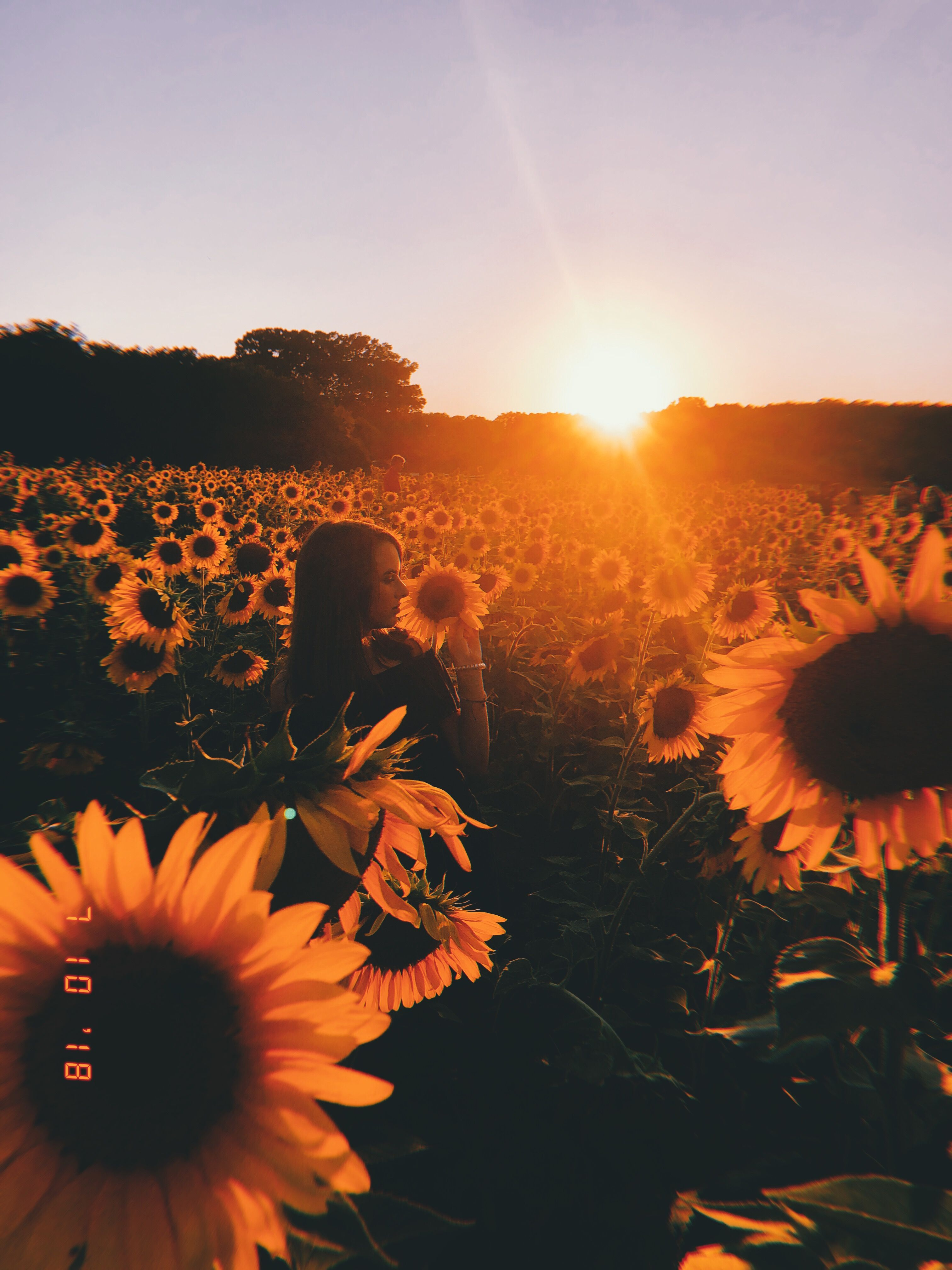 Summer Sunflowers Aesthetic Photography Nature Nature