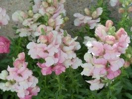 soft pink snapdragon flowers