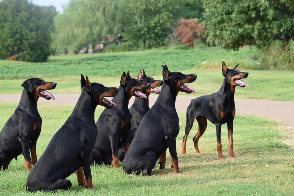 Doberman Breeder Dobermans Big Dogs Blue Merle English Mastiffs Pet Photography An In 2020 Doberman Pinscher Dog Miniature Doberman Pinscher Doberman Puppies For Sale