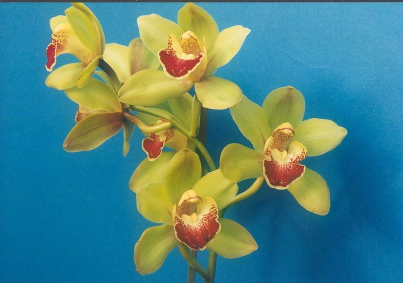 Cymbidium Cymbidium Flowers Are Long Lasting Their Spikes Can Stay Up To Ten Weeks That Is Why Cymbidium Orchids Are Very Types Of Orchids Cymbidium Orchids