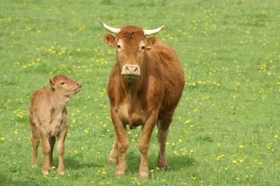 Owning a cow