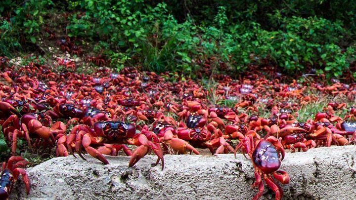 Todos los años en la isla de Navidad perteneciente a #Australia tiene lugar un curioso fenómeno. Se trata de la migración de los cangrejos rojos hacia el mar que acontece en torno al mes de noviembre.