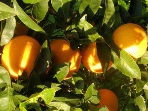 â Cultivamos Naranjos En Macetas Descubre Cã Mo Pinchando Sobre La Imagen Cultivar Macetas Jardines