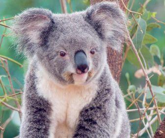 animals_koalas_desktop_1600x1200_hd-wallpaper-44926.jpg 336×280 pixels