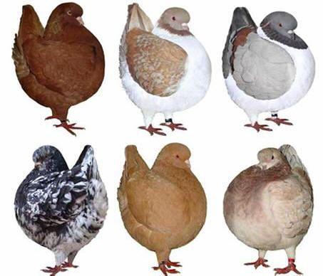 أنواع الحمام Pigeon