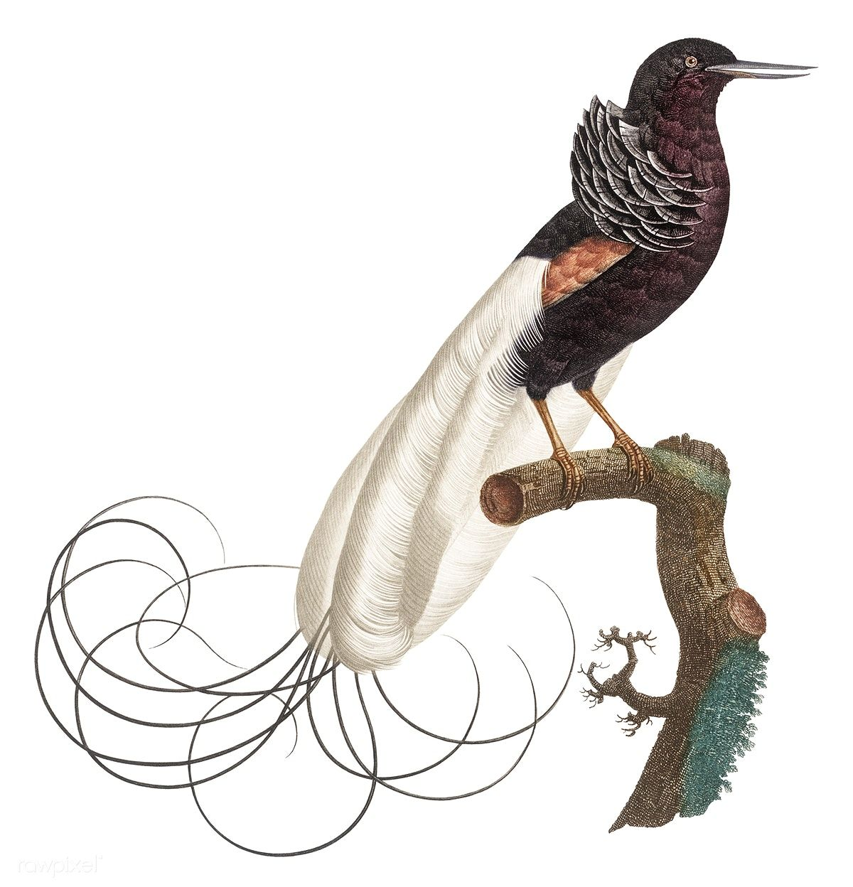 Public Domain | Twelve wired bird of paradise from Histoire ...