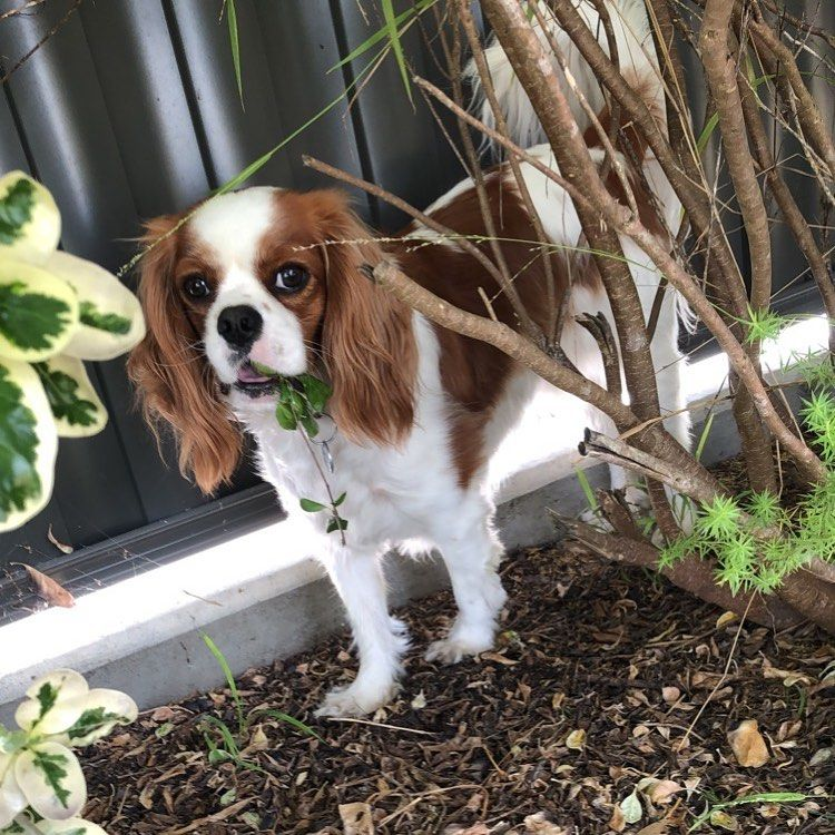 Recognizing The Signs Of Kidney Failure In Dogs And Cats Im A Rascal Cav Cavalierkingcharlesspaniel Puppieso Signs Of Kidney Failure Kidney Failure Dog Cat