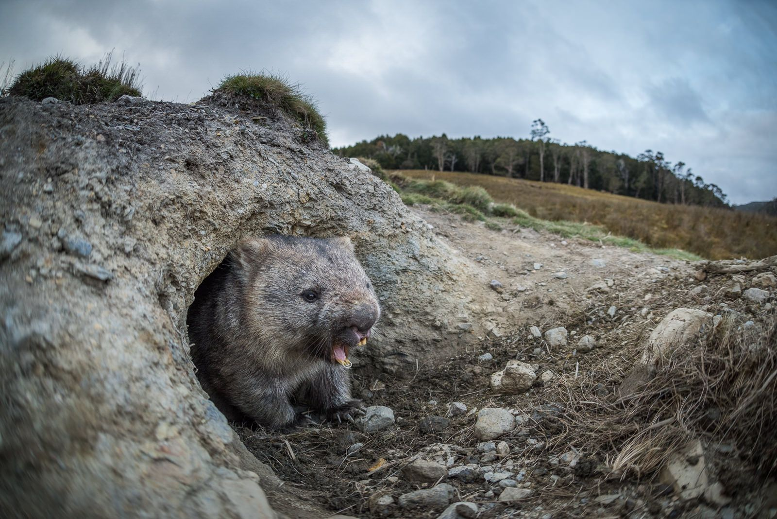 Wombat Emerging From Burrow © Sean Crane
