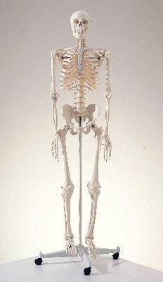 3B Skeleton - standard w/ pelvic mounted roller stand | Ward's Science