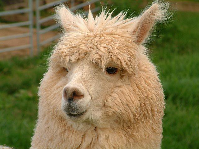alpaca | Alpaca | Rate Every Animal