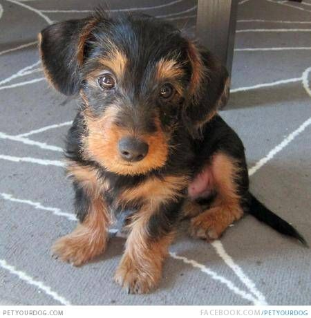If You Love Dachshunds As Much As We Do Then You Re Sure To Love These 34 Gorgeous Dachshunds Mixes Dachshund Cross Dachshund Mix Dachshund