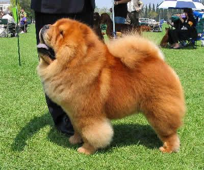 How To Train A Chow Chow Chow Chow Puppy Chow Chow Dogs Chow