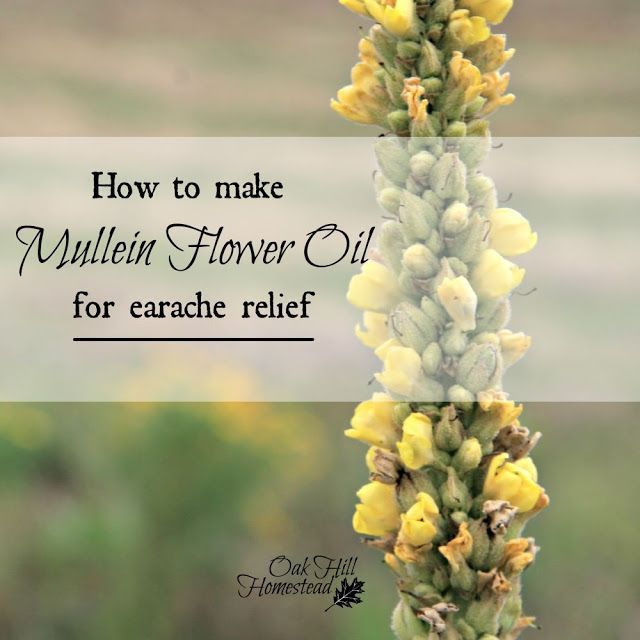 How to Make Mullein Flower Oil for Earache Relief