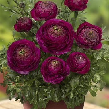 Looking For Prolific Terrific Bulbs Check Ranunculus Plant Talk Nurserylive Wikipedia With Images Beautiful Flowers Violet Flower