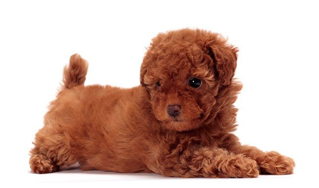 Toy Poodle Dog Breed Information Friendly Dog Breeds Dog Breeds Tiny Dogs