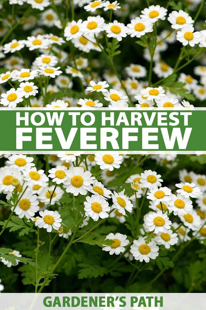 How To Harvest Feverfew Gardener S Path In 2020 Medicinal Herbs Garden Herbal Plants Feverfew Plant