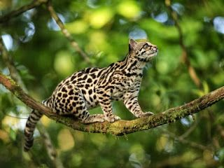 Oncilla-Leopardus tigrinus | Animals, Small wild cats, Wild cats