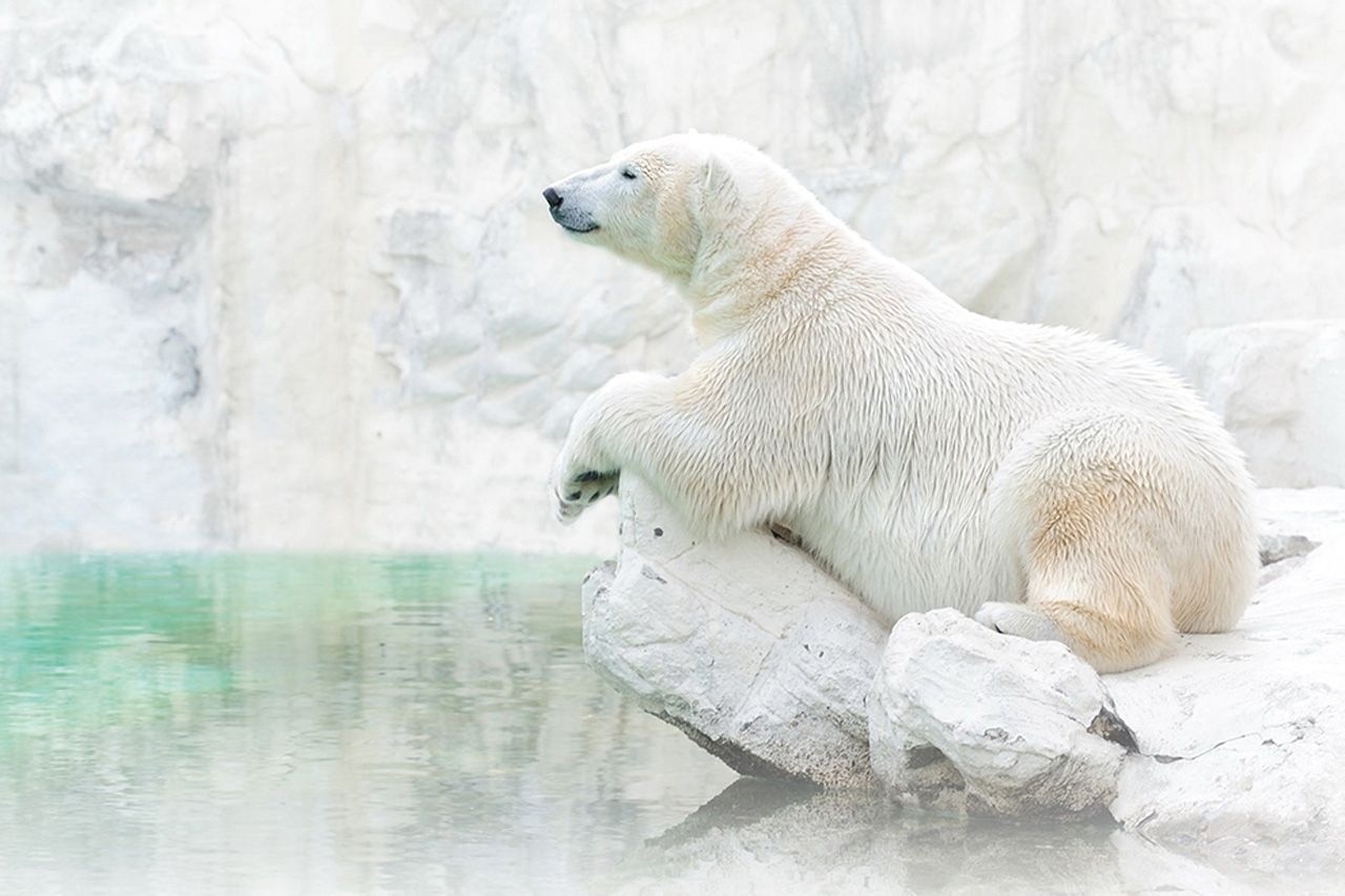 Ours Blanc Sur Fond Blanc National Geographic Photo Ours Ours Polaire Ours Blanc