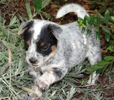 The Puppies Are All Sold Again Heeler Puppies Blue Heeler
