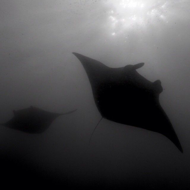 Great manta ray pic from @bigbluefun on Instagram.