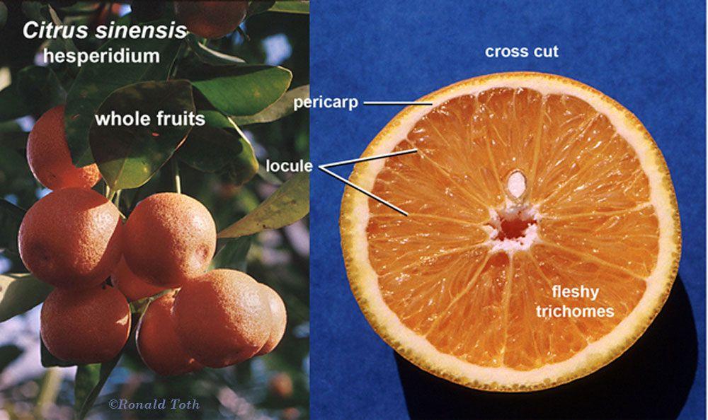 Image result for orange locule