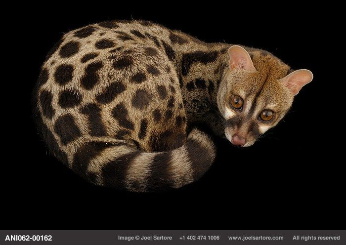 Rusty-spotted genet or Central African large-spotted genet (Genetta maculata) at the Miller Park Zoo.