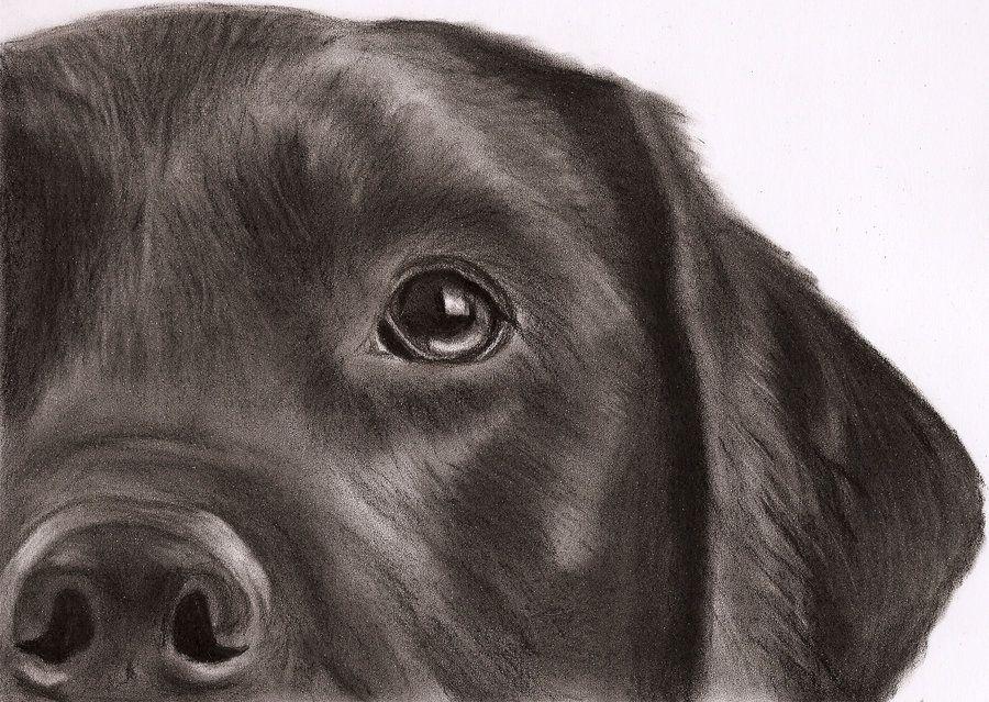 самых картинки собак лабрадоров карандашом каша содержит большое