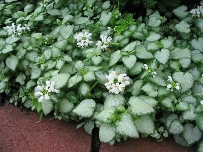 Lamium Maculatum White Nancy Spotted Dead Nettle Toe Ticklers Stepable Plants