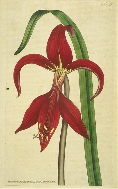 Jacobbaean Amaryllis Botanical Drawings Botanical Poster Botanical Prints