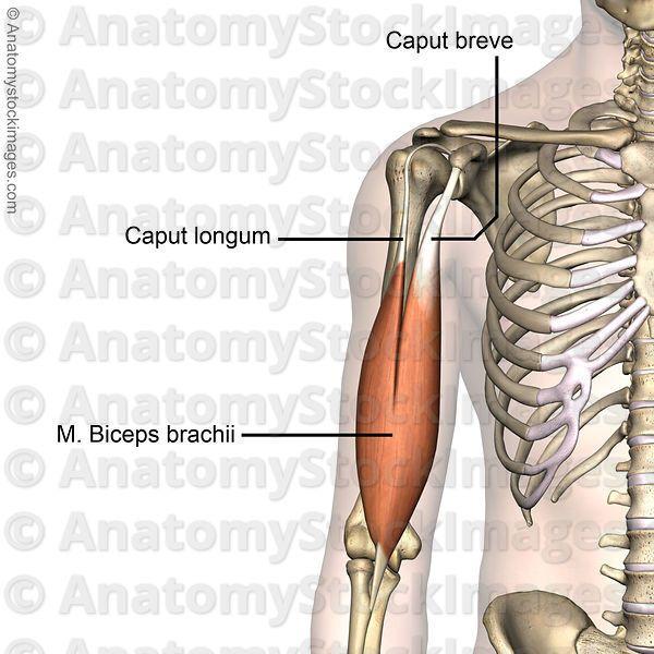 shoulder-musculus-biceps-brachii-caput-longum-breve-front ...