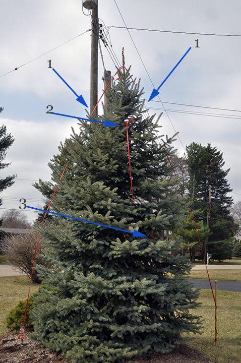 Gardenatoz Reduce A Spruce Garden A To Z Blue Spruce Tree Small Pine Trees Tree Trimming