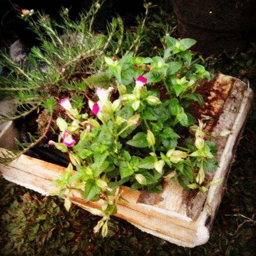 meronia and portulaca in a rustic wooden planter