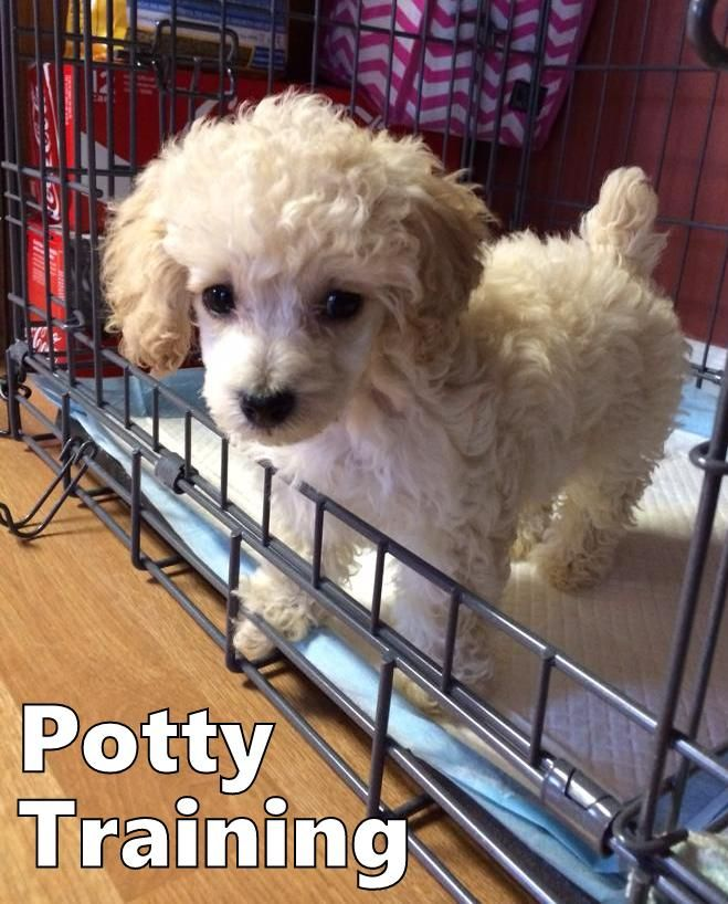 Poodle Puppies How To Potty Train A Poodle Puppy Poodle House