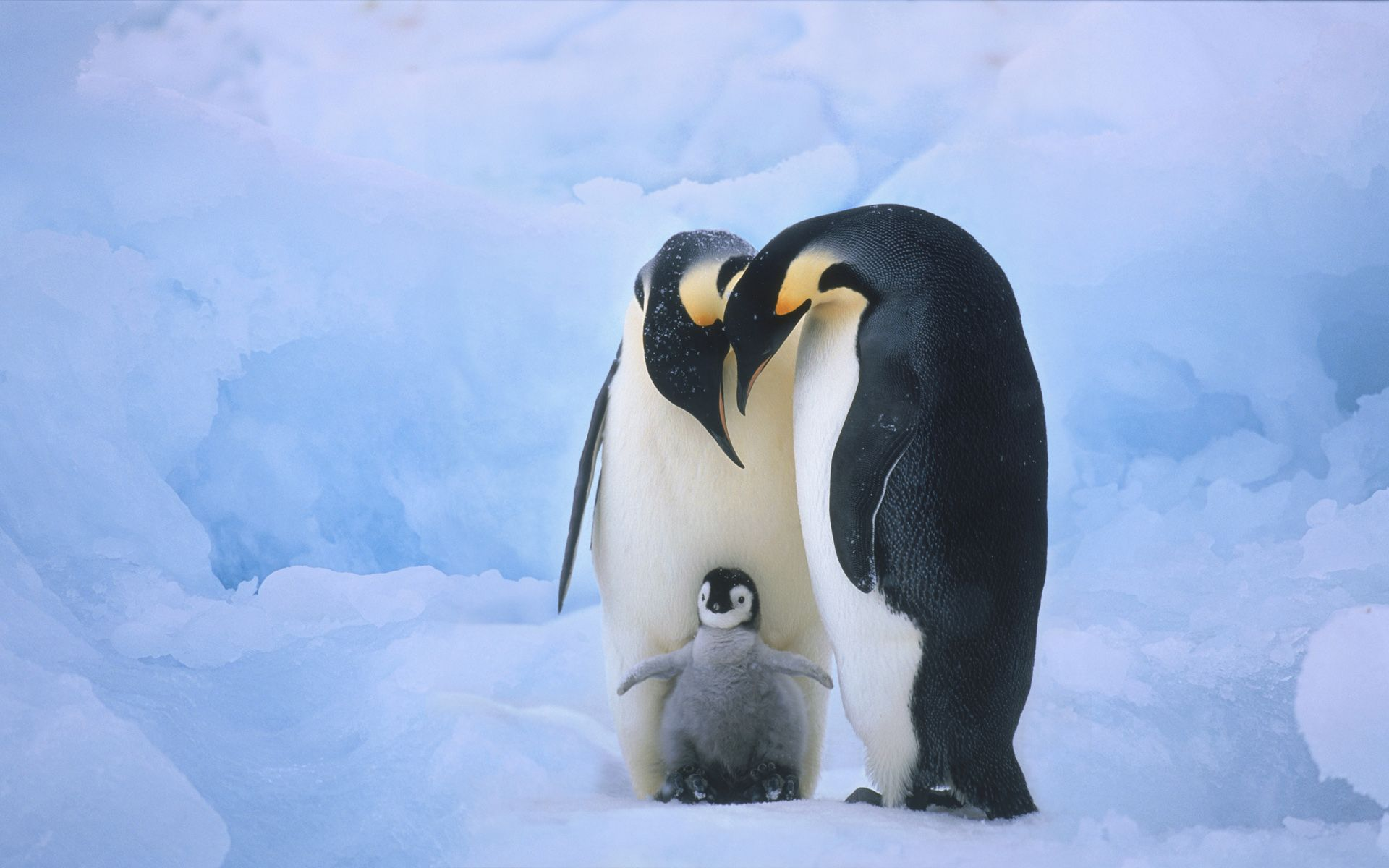 cute baby penguins |  , this shows familyhood and closeness