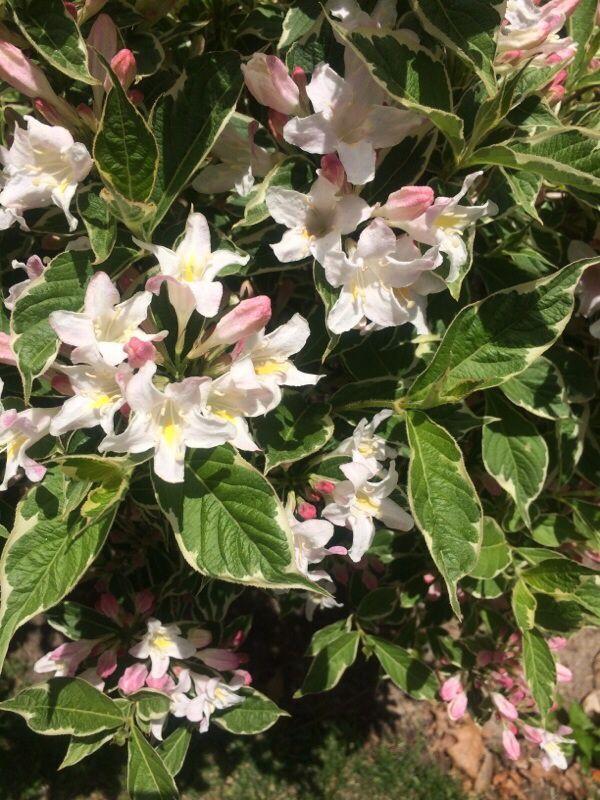 Weigela Florida Looks Like A From Eastern Asia Depending Light Shadesyellow Flowersshrubsform